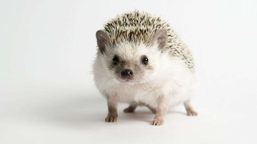 Scientists have found that hedgehogs have been able to cope with city life quite well. Kiriko Shirobayashi/Getty Images