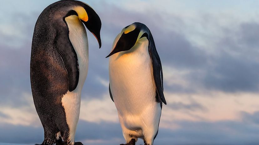 Emperor penguins are the largest living species of penguin. But the oldest penguins were way bigger. Mario_Hoppmann/iStock/Thinkstock