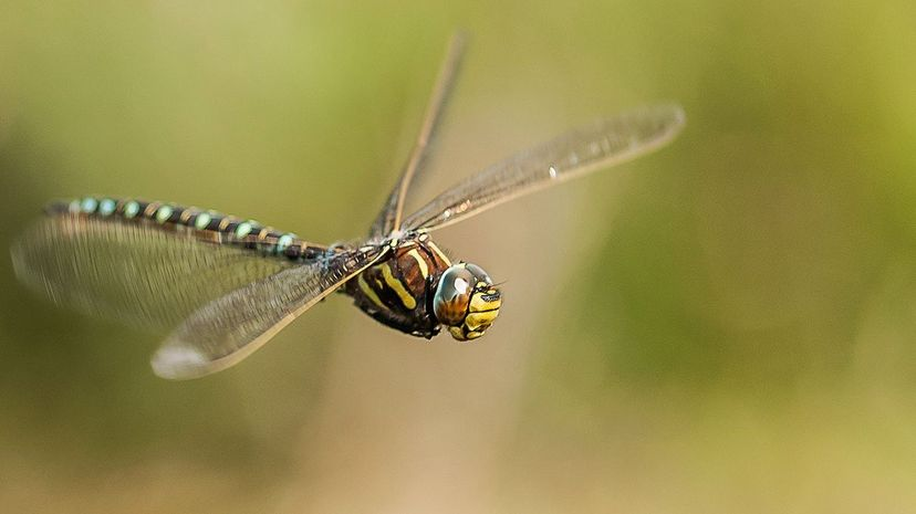 The female Aeshna juncea dragonfly has a creative technique to ward off unwanted male advances. Paul Ritchie/Flickr