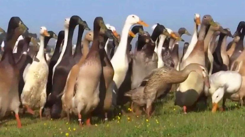 Ducks on Pest Patrol at South African Vineyards AP News