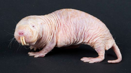 Naked Mole Rats Survive Without Oxygen by Turning Into Plants