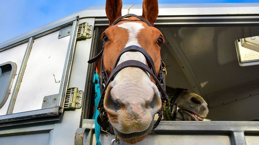 Being transported in trailers to performance events can be stressful for horses. One undergraduate biology student decided to conduct a small study to see if aromatherapy might help. Mark Winter/Corbis via Getty Images