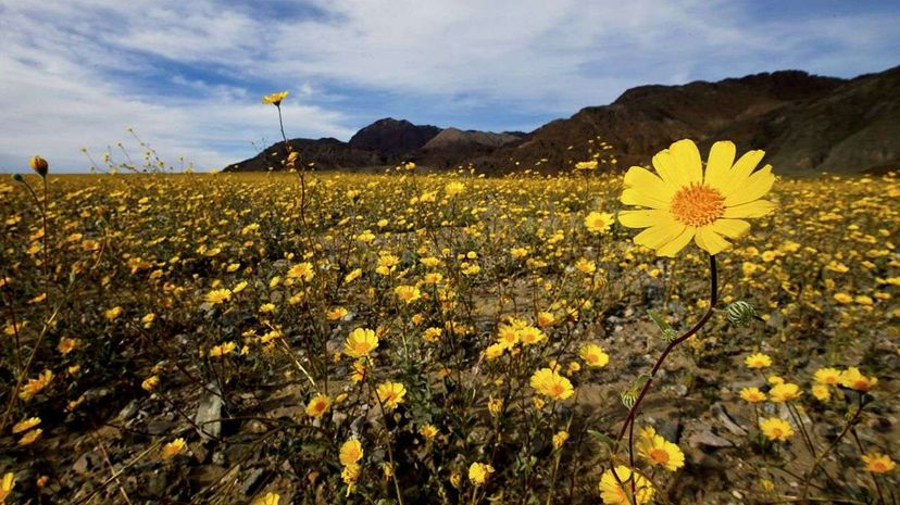 "Death Valley park ranger Alan Van Valkenburg discusses the current ""super bloom"" of wildflowers in the park. National Park Service"