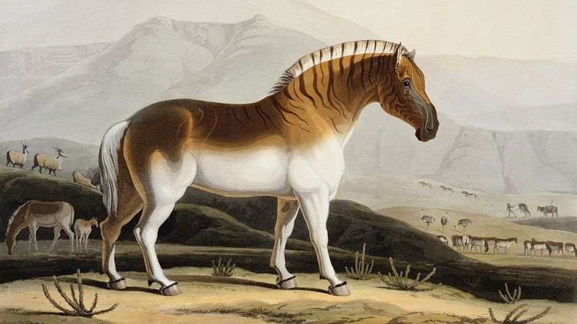 """""""The Quahkah,"""" a hand-colored aquatint engraving of a quagga, from Samuel Daniells 1805 book """"African Scenery and Animals.""""  Stapleton Collection/Corbis"""