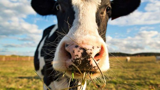 Cow Burps, Not Farts, Are the Real Problem