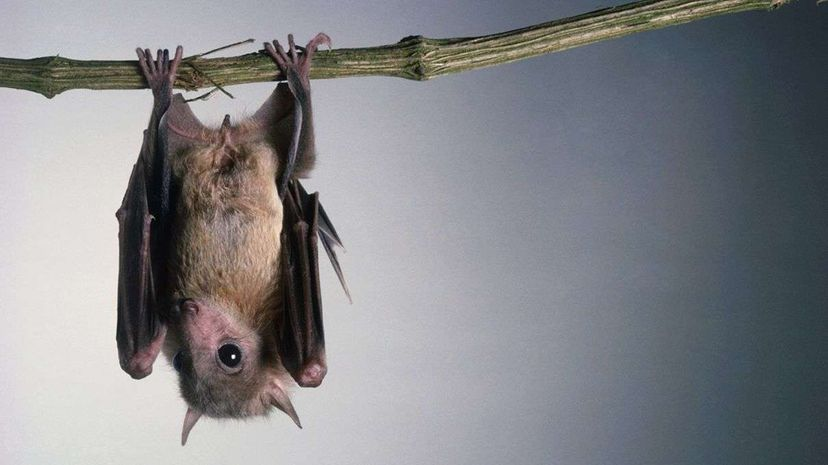 Researchers used slow-motion video of bats landing upside down to analyze the physics of the maneuver. Image: Jerry Young/Getty Images; Video: National Geographic