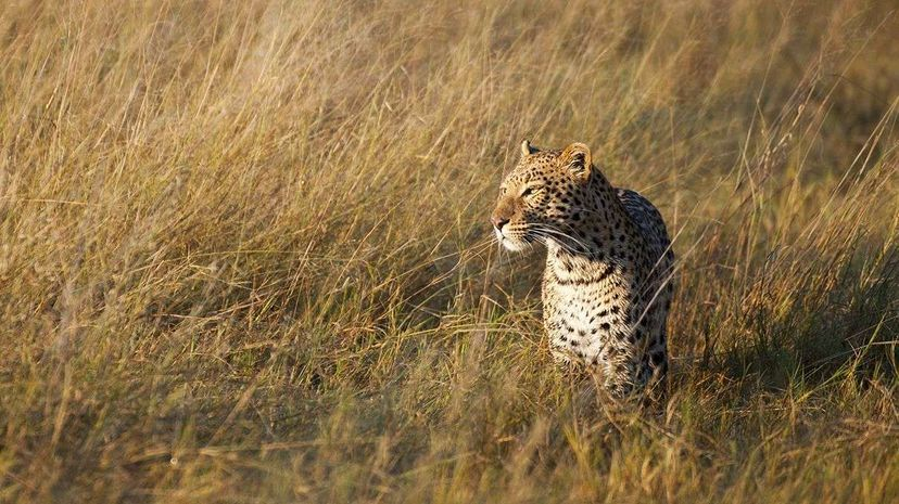 Across the world, leopards have lost three quarters of their historic range, according to new research. Wolfgang Kaehler/Getty Images