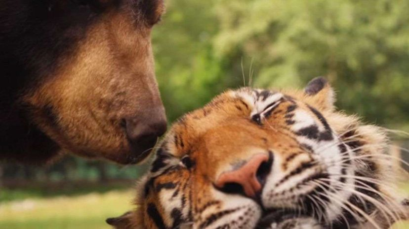 A lion, a tiger, and a black bear live together at a Georgia refuge after being rescued together as infants. BBC