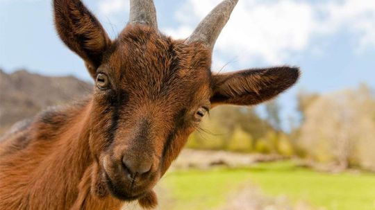 We Talk With the Man Who Lived Like a Goat