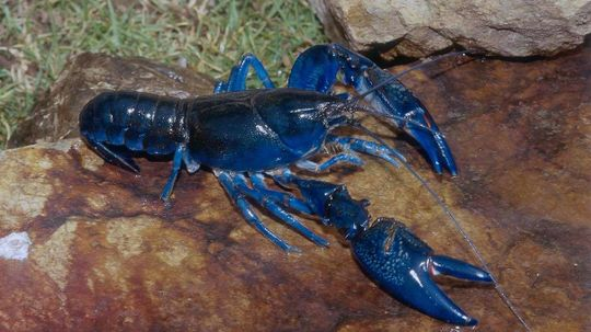 Are Blue Lobsters As Rare As Blue Moons?