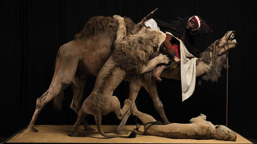 """The diorama """"Lion Attacking a Dromedary"""" at the Carnegie Museum of Natural History unknowingly featured a human skull. Josh Franzos/Carnegie Museum of Natural History"""