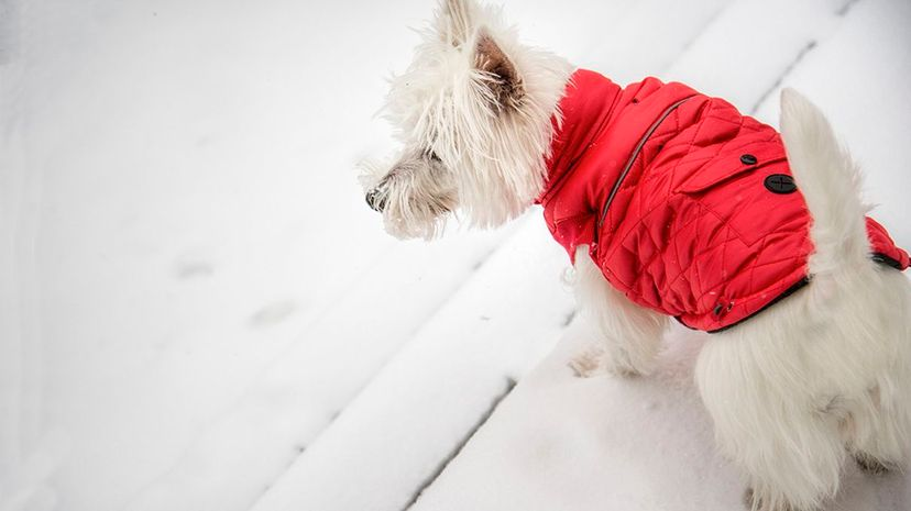 A new vest developed in Finland could protect dogs from wolf attacks. Imagine a jacket like the one pictured here but rather than being filled with down, it would contain packets of chili triggered by wolfbite. Sherry Galey/Getty Images