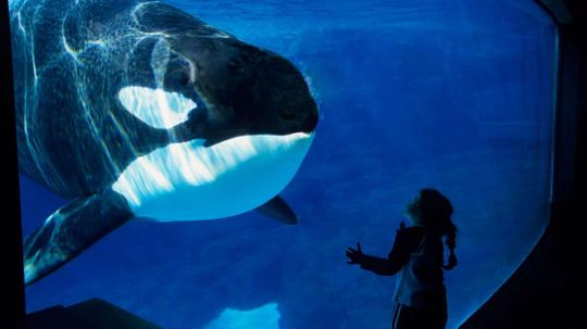 Orca Menopause May Be Related to Mother-Daughter Competition