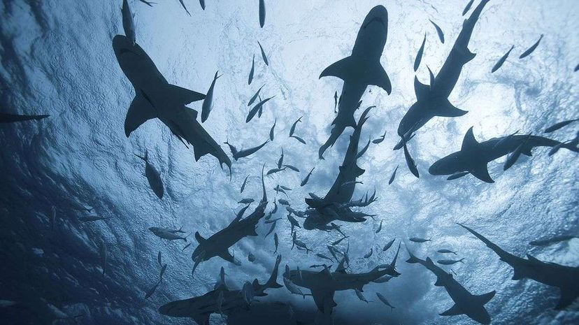 For as much as we know about sharks, there's still a good amount that remains mysterious to science. Chris Ross/Getty Images