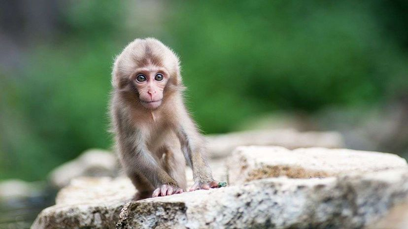 New research found that newborn Japanese macaques move their faces similar to other primates, including us. Steve Fleming/Getty Images