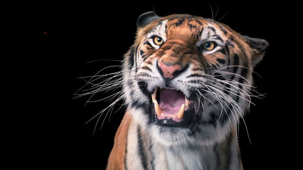 Do Big Cats Freak Out Over Laser Pointers Like House Cats?