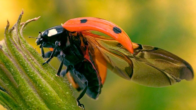 A seven-spotted ladybug (Coccinella septempunctata) displays the engineering marvel that is its wing system. Auscape/UIG via Getty Images