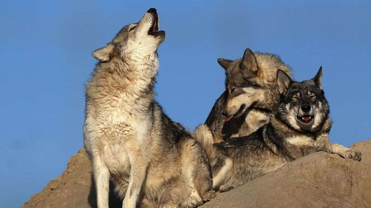 Decoding Wolf Dialects