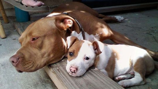 Persistent Stigma of 'Pit Bull' Label Hinders Dog Adoption