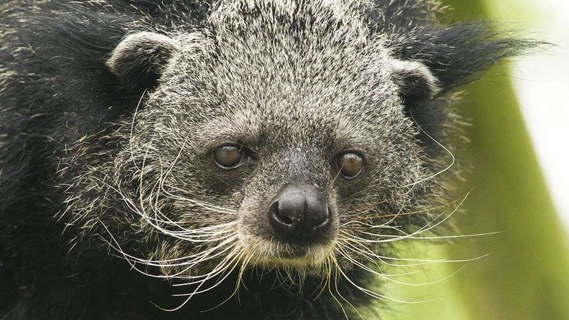 The binturong is a Southeast Asian mammal with a distinct smell that reminds many people of hot, buttered popcorn. Valerie/Flickr