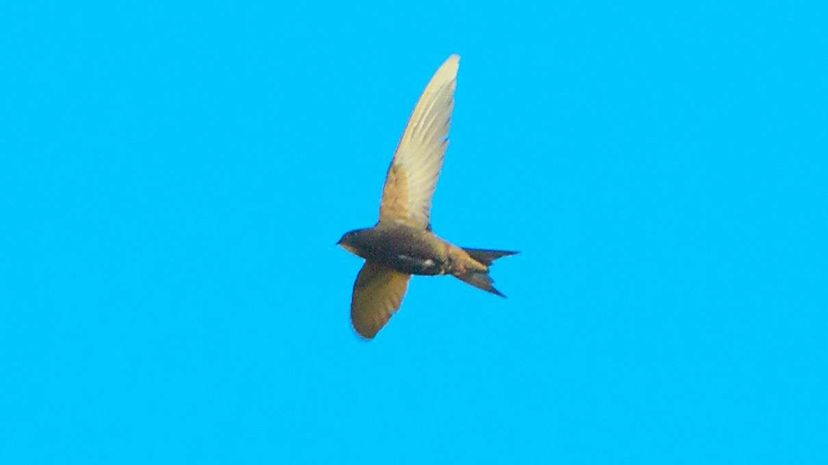 These birds can fly almost ten months without landing Lund University/YouTube