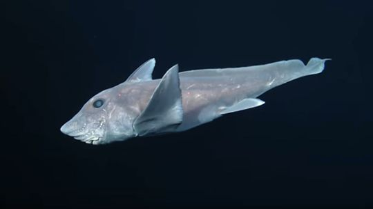 Eerie, Deep-ocean Ghost Shark Footage Surfaces for First Time