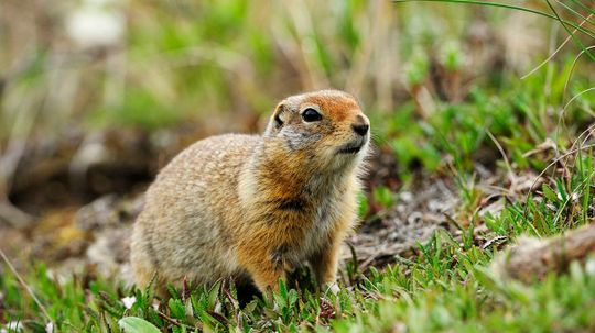 These Arctic Squirrels Repeat Puberty Every Year of Their Lives