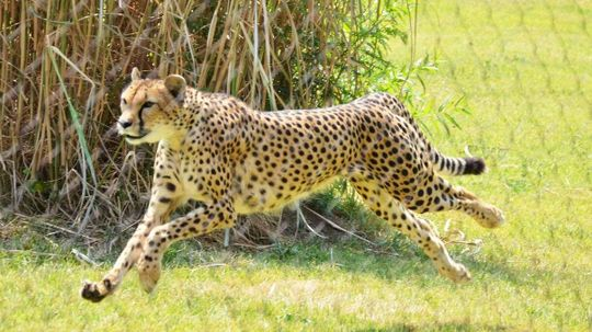 Sarah the Cheetah, the World's Fastest Land Animal, Has Died