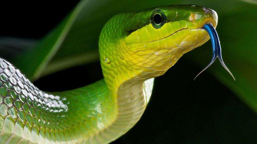 red-tailedgreen [url='945479:0']rat snake[/url]