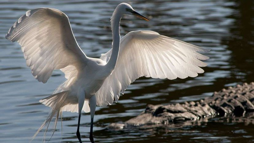 They may not be as tight as Frog and Toad, but the great egret (Ardea alba) and the American alligator (Alligator mississippiensis) definitely benefit from their facilitative interactions. Jim McKinley/Moment/Getty Images