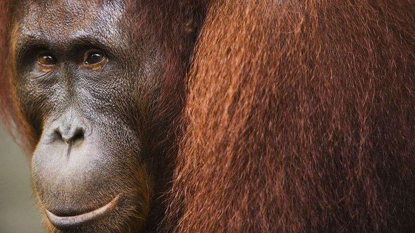 A female orangutan photographed in Indonesia's Tanjung Puting National Park.  Theo Allofs/Corbis