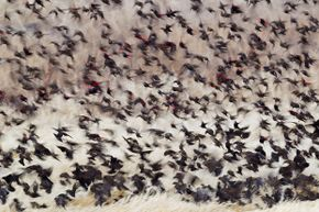 A flock of red-winged blackbirds swarms over some withered grass in Oregon.