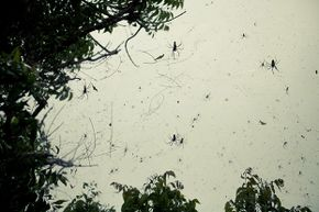 Spiders spin a giant web by a tree.