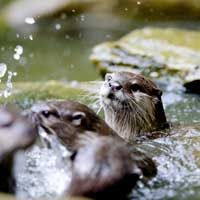 Play or practice? Otters are known for their apparent playfulness. See more pictures of mammals.