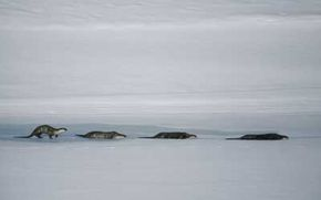 Researchers have debated whether otter sliding behavior constitutes play or travel.