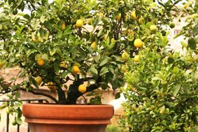 Don't have room for a large fruit tree? Having a dwarf one is the perfect solution.