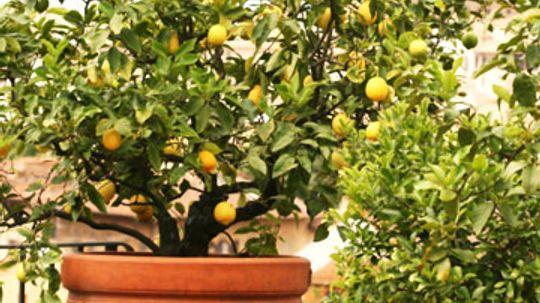 Planting Dwarf Fruit Trees in Pots