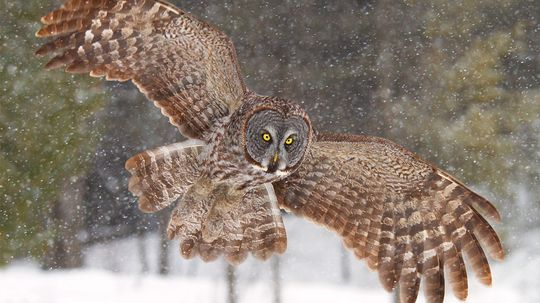Why Are We So Fascinated With Owls?