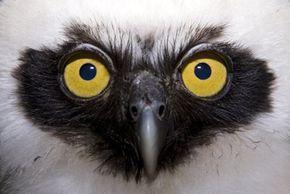 Jung owl