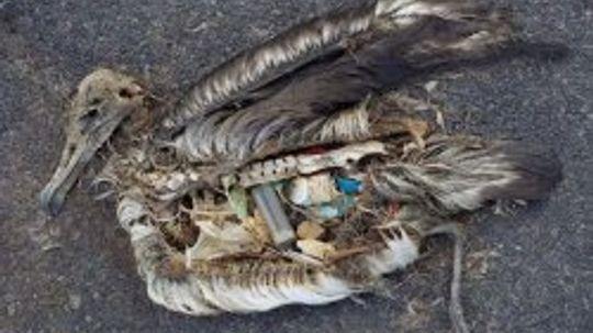 An Ocean of Plastic...In Birds' Guts