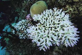 Increased ocean acidity can contribute to coral bleaching.