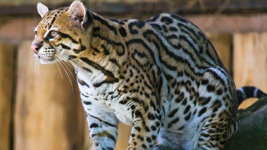 Meet the Ocelot: The Cutest Little Big Cat