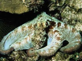 The octopus can alter its color and skin texture to blend into its surroundings. See more animal camouflage pictures.