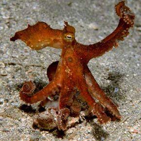 octopus disguises itself as kelp