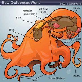 octopus anatomy
