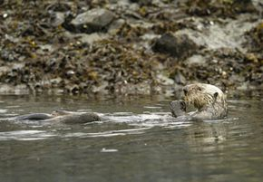 A sea otter relaxes near Alaska's Prince William Sound in 2004. The local ecosystem is still recovering from the Exxon Valdez tanker spill in 1989.