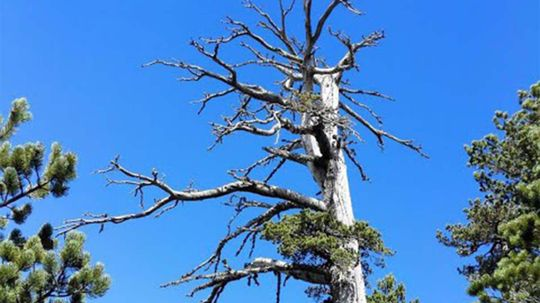 Europe's Oldest Tree Is Still Growing