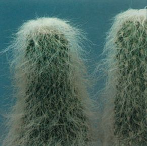 Old man cactus has fine, downy hairs that conceal some nasty spines. See more pictures of cacti.