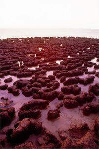 Behold, stromatolites in Hamelin Pool Marine Nature Reserve along the coast of Western Australia.