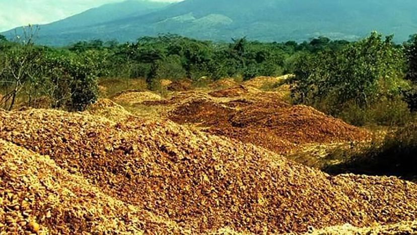 One company's discarded orange peels turned out to be pretty fruitful for a degraded plot of Costa Rican pasture. Daniel Janzen and Winnie Hallwachs
